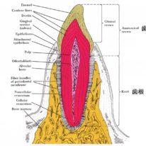 歯の構造 矯正治療による歯の移動とは? 何歳まで矯正治療できるの? リスクは?